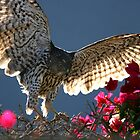 Cooper&#x27;s Hawk Hunting In Bougainvillea by DARRIN ALDRIDGE