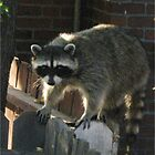 fence sitting racoon by eolp