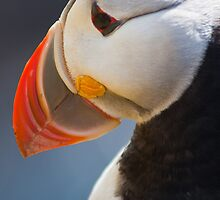 Puffin, Westfjords, Iceland, Cover by Andy Townsend
