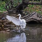 Great Egret Splash Down Landing by Chuck Gardner