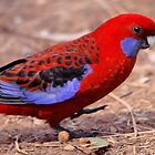 Left Right Left.... Crimson Rosella by mosaicavenues