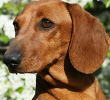 Rimzan -  Dachshunds For Loving by Joanne Emery