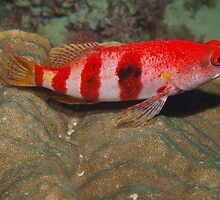 hawkfish on coral ,scarborough reef by peterbeaton