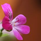 rose geranium by dinghysailor1