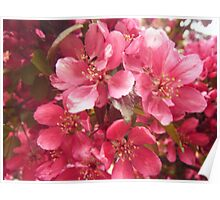Pink Flower Blossoms Poster