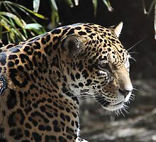 Young Jaguar by Gail Falcon