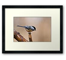 Black Capped Chickadee on Branch - Ottawa, Ontario Framed Print