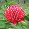 White-Tipped Waratah (Telopea) by Michael John