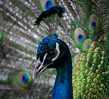 Show Off - Peacock displaying his train to a mate by Simon Michelmore