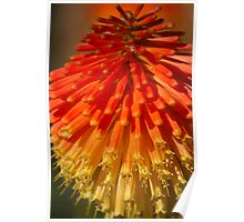 Red Hot Poker spike (flowerhead) Poster