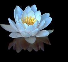 Water Lilly Meditation by Greg Summers
