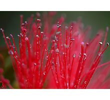 Australian Bottle Brush Photographic Print