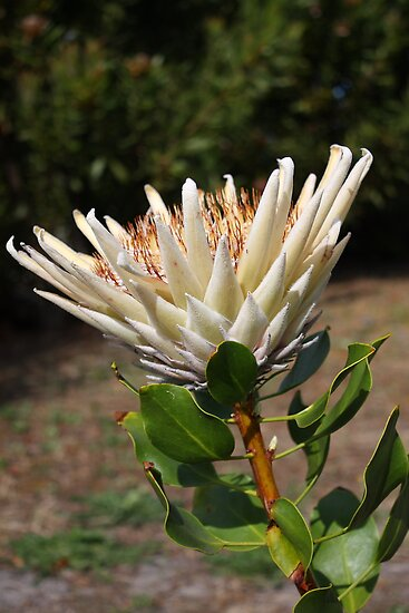 King Protea (White) Protea cynaroides #2 by Elaine Teague