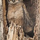 Baby Great Horned Owl by Greg Summers
