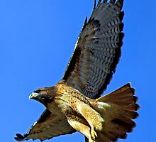 Red-Tailed Hawk Takes off  for The Hunt by Chuck Gardner