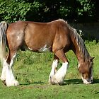 Clydesdale horse grazing on Aran Islands by Brian220