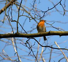 Mr.Robin  by rhian mountjoy