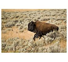 Buffalo on the Run - Yellowstone NP Photographic Print