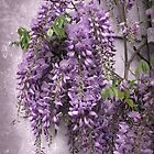 Wisteria  by Jessica Jenney