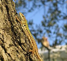 Tuscan Lizard by Neil MacGregor