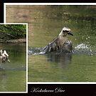 Kookaburra Dive by WendyJC
