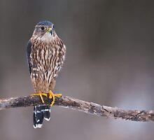 Merlin Falcon - Ontario Canada by Raymond J Barlow