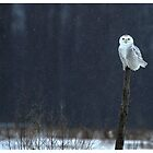 Snowy Owl - Amherst Island, Ontario Canada by Raymond J Barlow