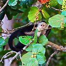 Spider Monkey, Costa Rica by Ken Scarboro