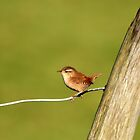 Wren by NSQPhotography