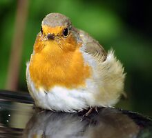 Fat Bathing Robin by lucylongface