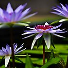 water lilies, profile view by Gerry Daniel