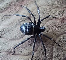 black widow  spider by ojok ivan willy