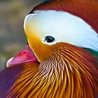 Mandarin Duck by Phil-Edwards