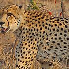 Male cheetah in motion by jozi1
