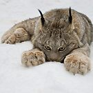 Lynx in Snow by Raymond J Barlow