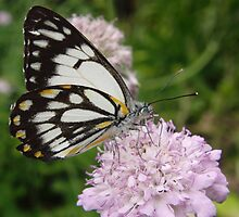 Caper White Butterfly (Belenois java) - Adelaide, South Australia by Dan & Emma Monceaux