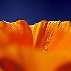 Poppy in Blue by jayneeldred