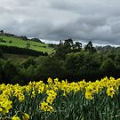 Daffodil fields by Robyn Lakeman