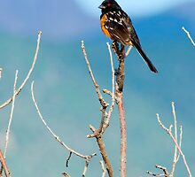 Spotted Towhee by John  De Bord Photography