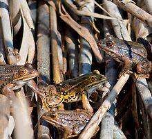bullfrogs, Oasi di Persano, Eboli, Campania, Italy by Andrew Jones