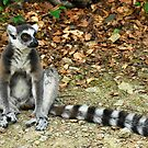 The Watcher - Lemur by vbk70