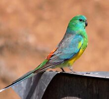 Mr Red-rumped Parrot by mosaicavenues