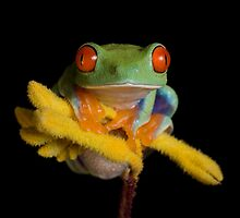 Red eyed tree frogs by Angi Nelson by AngiNelson