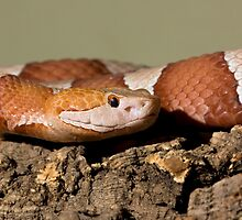 Copperhead by Angi Wallace