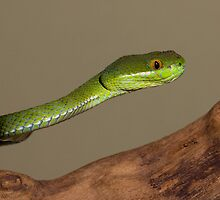 Bamboo viper by AngiNelson