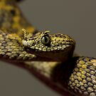 Horned Bush viper by AngiNelson