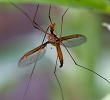 Crane Fly -  profile  take 2  by john  Lenagan