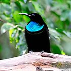 Magnificent Riflebird taken at Iron Range (Front View) by Alwyn Simple