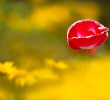 Poppy Among Gold by Sarah-fiona Helme