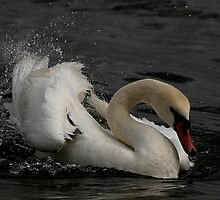 A Flipping Swan by snapdecisions
